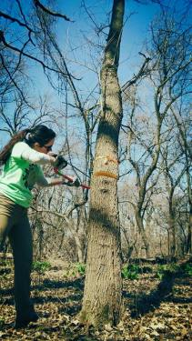 Kelly Cutting Down a Tree, Ally Mich, April 2015