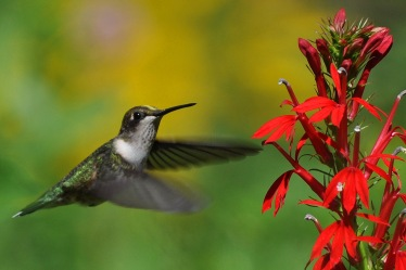 Hummingbird on Cardinal Flower, Lisa Culp, 2015