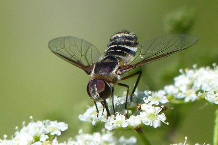 Bee Fly, Lisa Culp, August 2015
