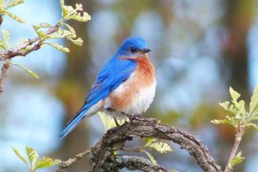 Eastern Bluebird on Burr Oak in Spring, Lisa Culp