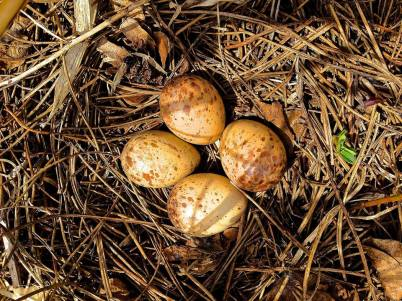 Woodcock Eggs, Stephen Packard, April 2015